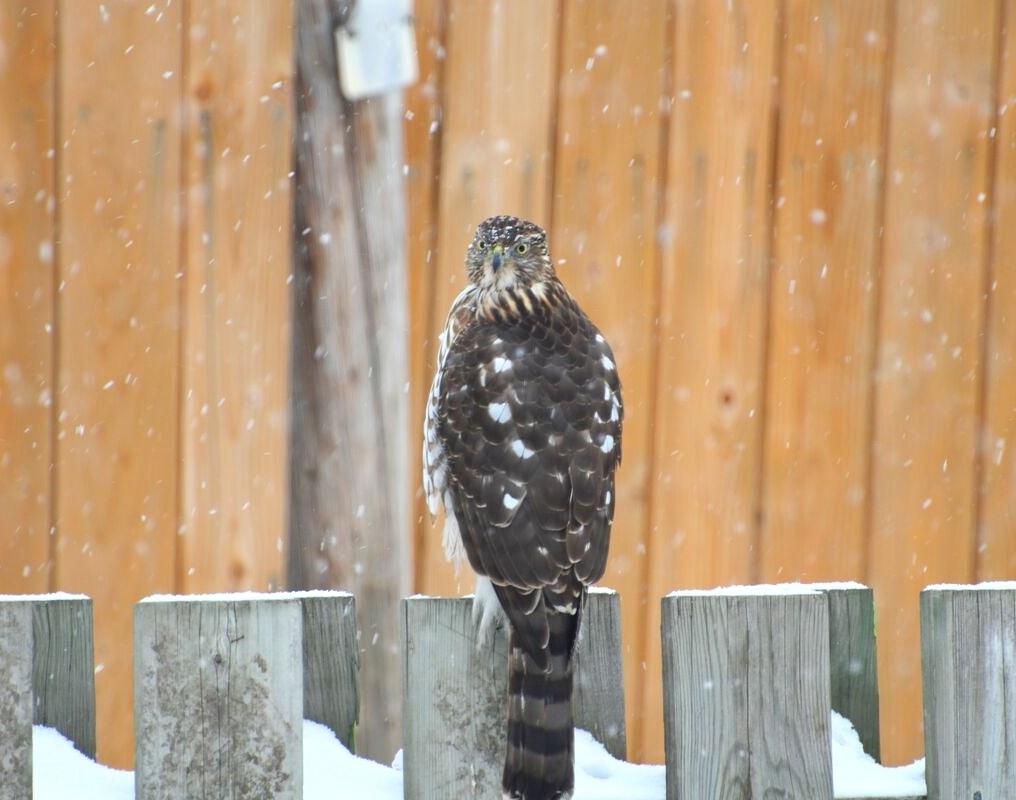 February 15, 2018: Being a Mystery Bird in Ottawa; Area authority identifies Hintonburghawk.