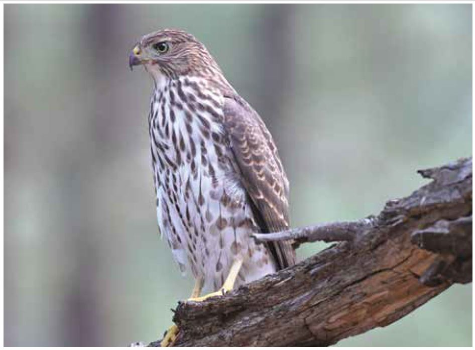March 15, 2018: An Introduction to Birds and Birding; (including Cooper's Hawks).